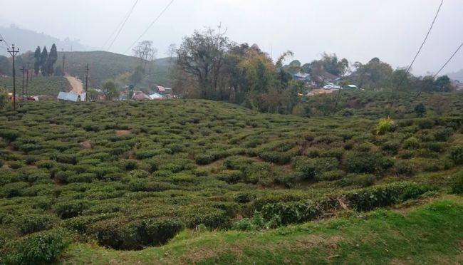 best Places to visit in Darjeeling tea estates