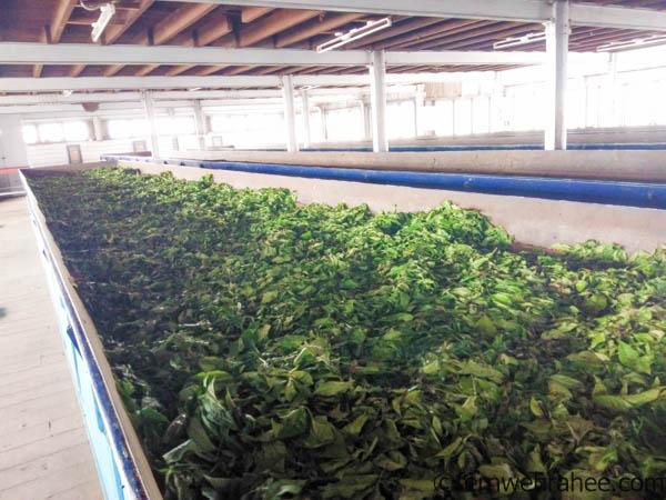 Tea Factory Visit Coonoor