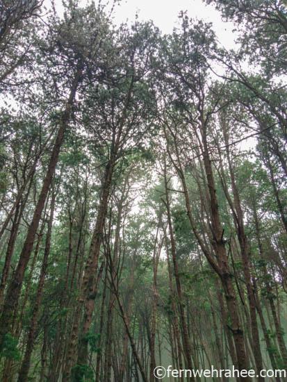 Kodaikanal in 2 days -Pine forest views